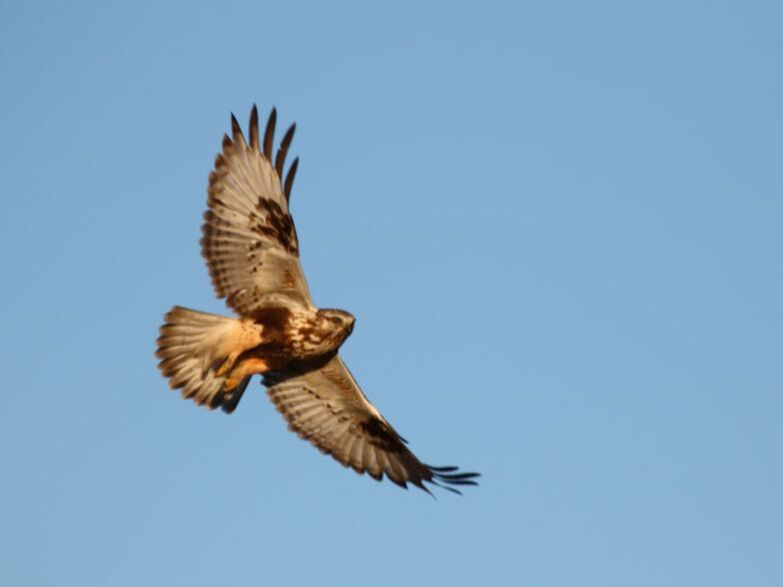 Light-morph Rough-legged Hawk in flight, shown from below.